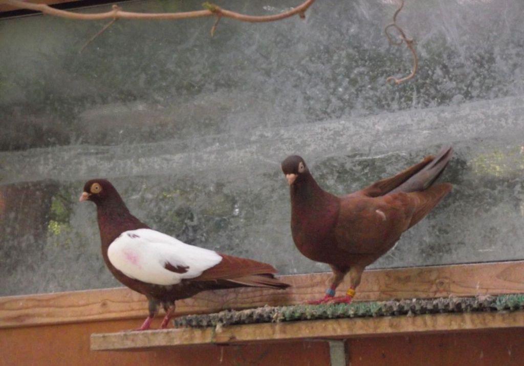 Окрас венгерских голубей достаточно разнообразный