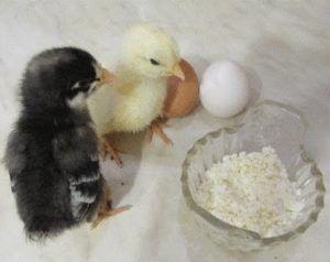 В первые дни можно кормить цыплят творогом