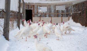 Разведение можно осуществлять даже в условиях сибирского климата