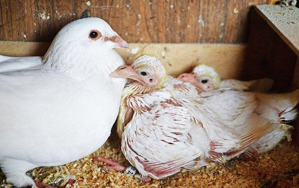 Голуби павлины считаются заботливыми родителями, но все же стоит проконтролировать процесс кормления