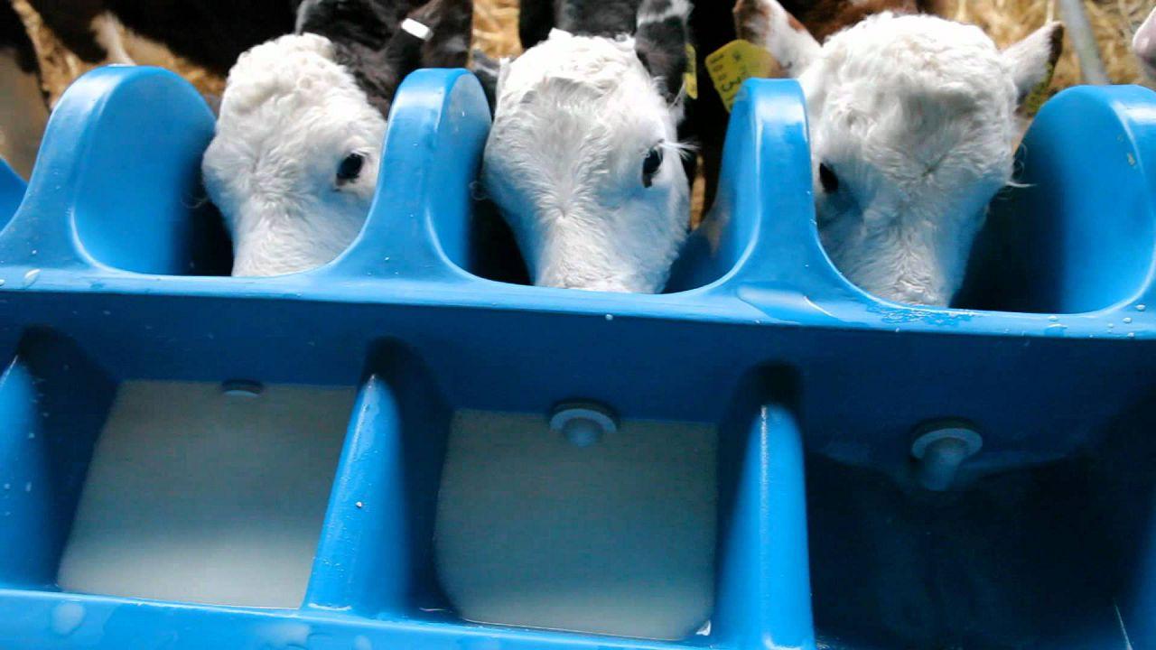 Молоко уходит на кормление телят