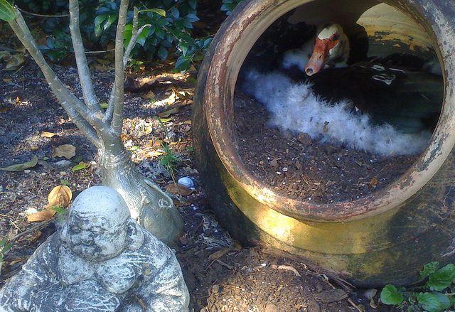 Гнездо индоутки в бочке