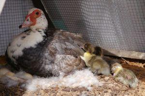 Защитите гнездо от проникновения чужих утят