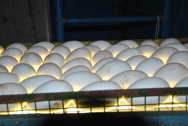 Гусиные яйца требуют особого внимания к температуре