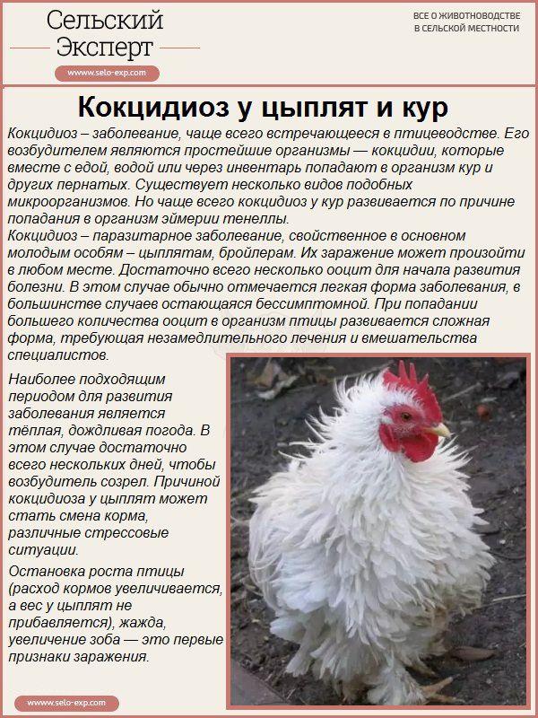 Кокцидиоз у цыплят и кур