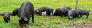 Черные свиньи обладают крепкой иммунной системой