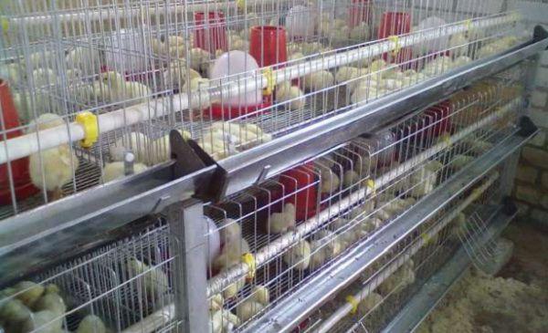 Цыплят можно приспособить как для напольного, так и для клеточного содержания