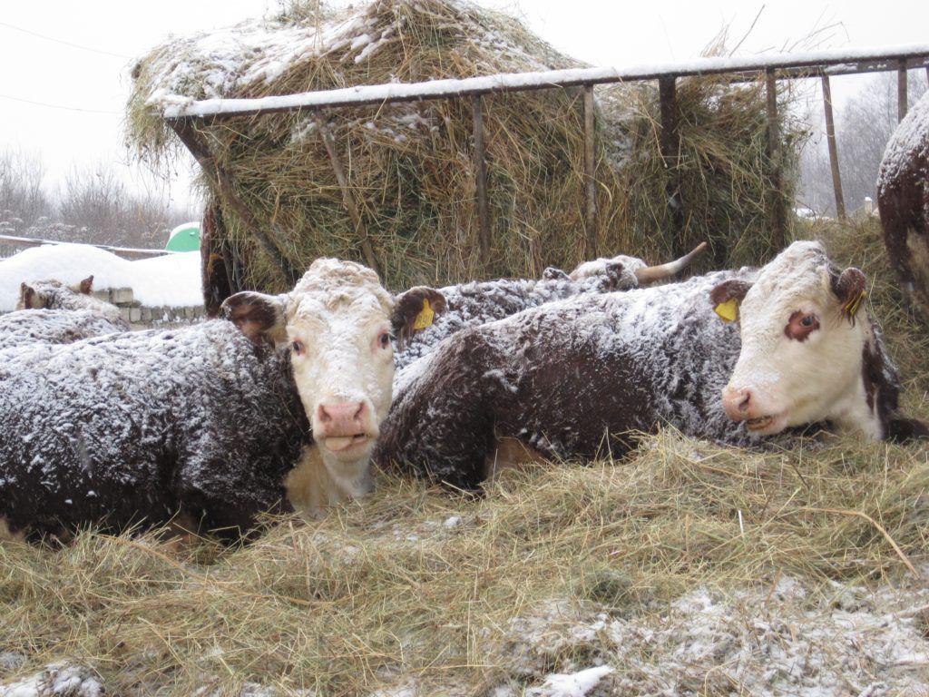 При полноценном кормлении герефорды устойчивы даже к сильным морозам