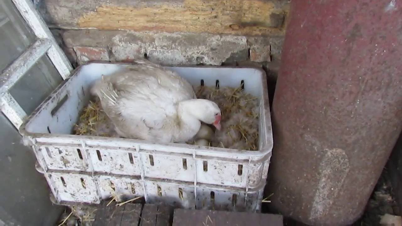 Зачастую птицы сами выбирают себе удобное гнездо