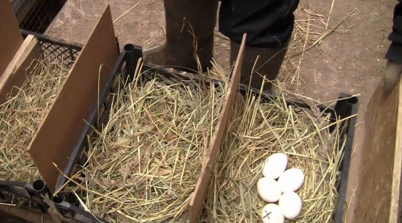 Пока гусыня на прогулке, можно заменить подстилку и убрать поврежденные яйца