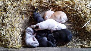 Средний вес новорожденных крольчат 80г