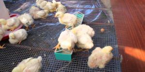 Некоторые фермеры добавляют Биомицин в корм цыплятам
