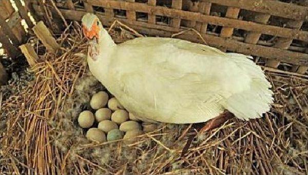 При неподходящих условиях заставить индоутку высиживать яйца практически невозможно