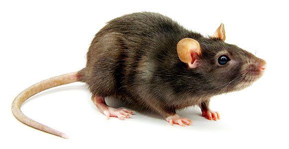 Мышевидные грызуны – механические переносчики вируса.