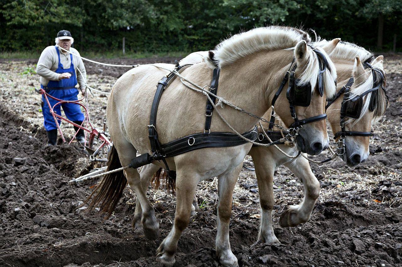 Рабочие лошади требуют особого подхода к рациону