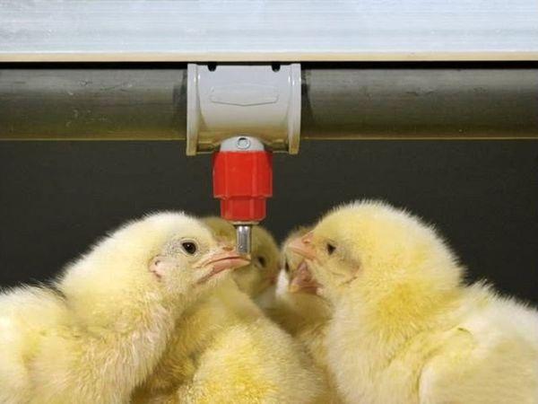 По мере роста птиц нужно регулировать количество воды
