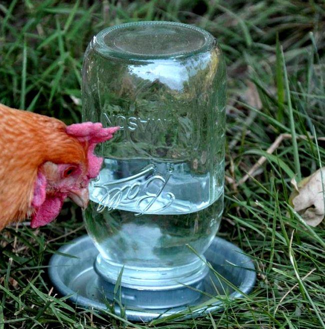 Основной профилактикой заболевания эхиностоматидозами является чистота поилок для птиц