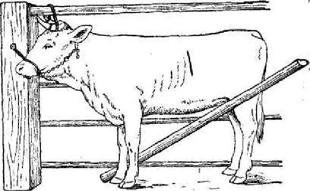 Правильная фиксация коровы для взятия анализа