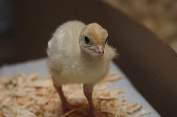 Покупая птенцов необходимо обращать внимание на их вес и внешний вид