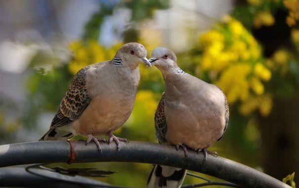 Определить пол можно прислушиваясь к воркованию птиц, но чтобы различить тональность самцов и самок нужно быть достаточно опытным птицеводом
