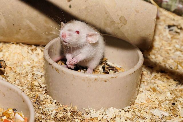 Самые распространенные средства борьбы с крысами в Вашем доме