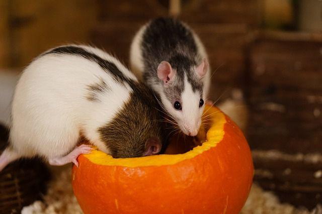 Крысы наносят вред сельскому хозяйству