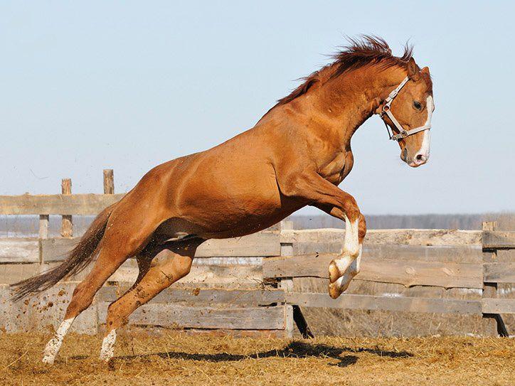 В качестве «свежей крови» использовали тракененскую породу лошадей