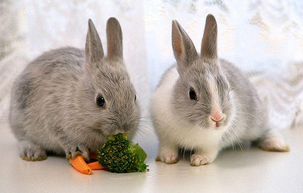 Профилактика Байкоксом позволяет выработать у кроликов устойчивость к кокцидиям