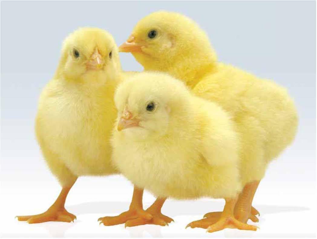 Заражению гельминтами чаще всего подвержены молодые цыплята