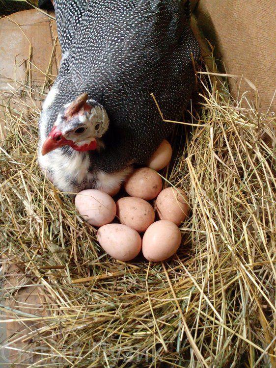 Цесарка высиживает яйца