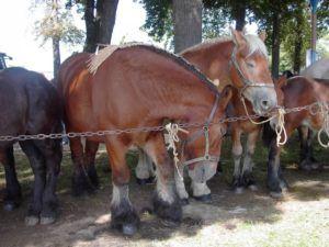 Ауксуа - мясная порода лошадей
