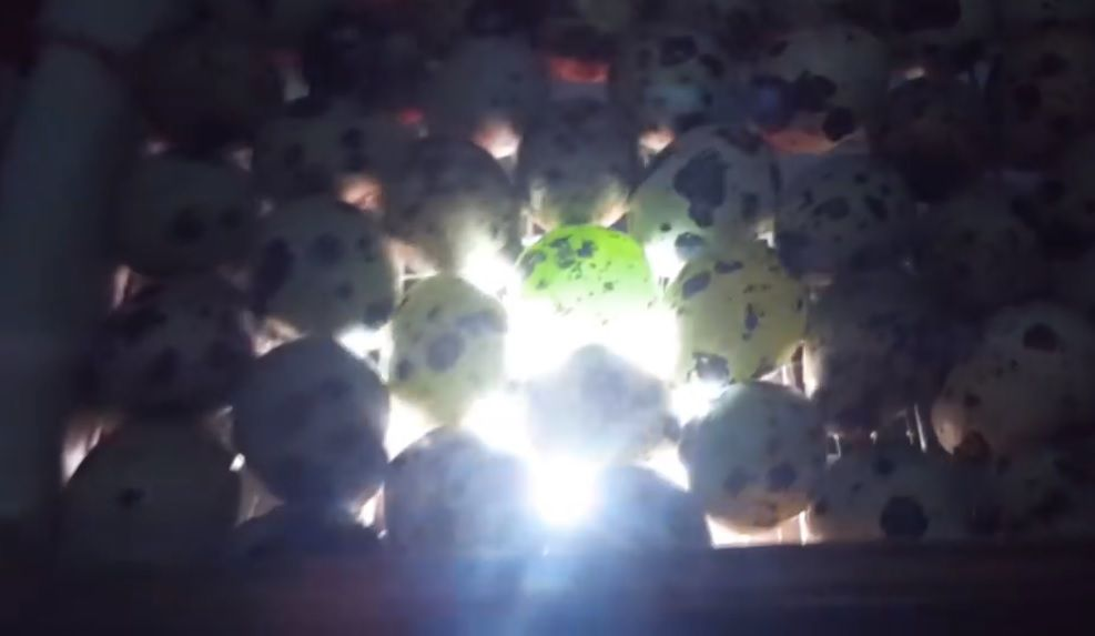 Зеленый оттенок при овоскопировании говорит о неоплодотворённости яица