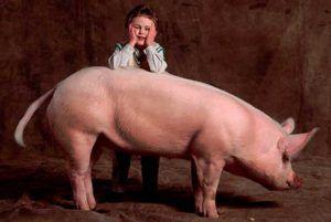 Белые свиньи обладают хорошей мясной продуктивностью