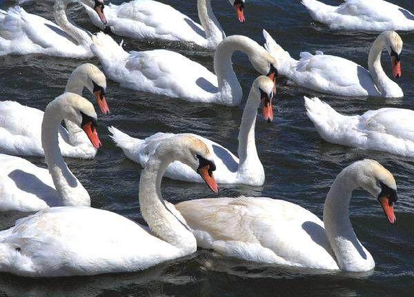 Благодаря занесению шипуна в Красные книги многих стран, птица становится почти домашней