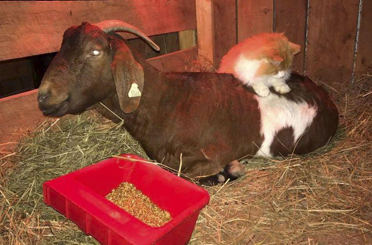 Бывали случаи, когда беременная коза заводила дружбу с кошками