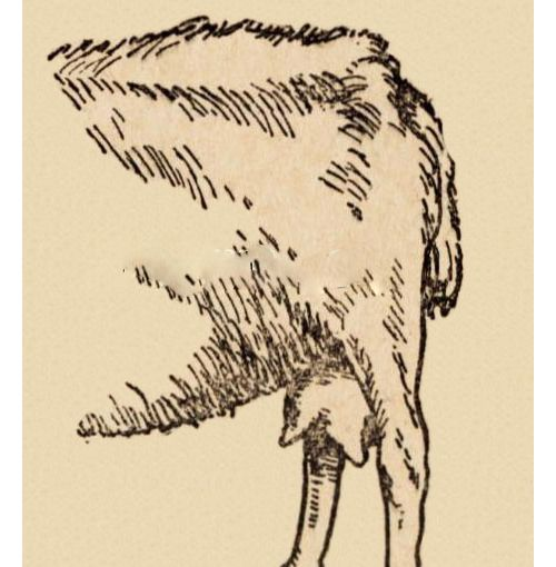 Вымя доенной козы