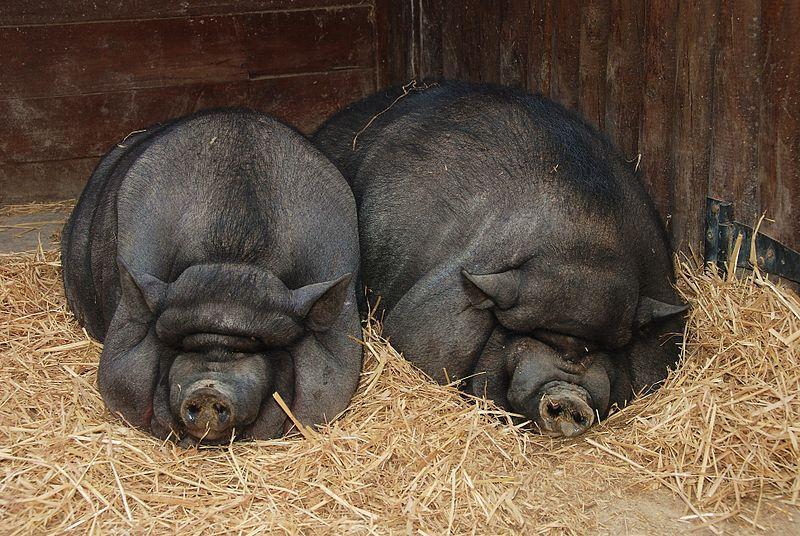 Вьетнамских свиней забивают в возрасте 4-6 месяцев