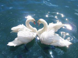 В солнечную погоду белое оперение блестит особенно красиво