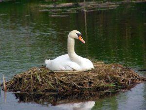 Гнездо у шипуна достаточно объемное