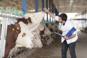 Гормональные методы повышения объема лактации у коров применяются далеко не во всех молочных агрохозяйствах