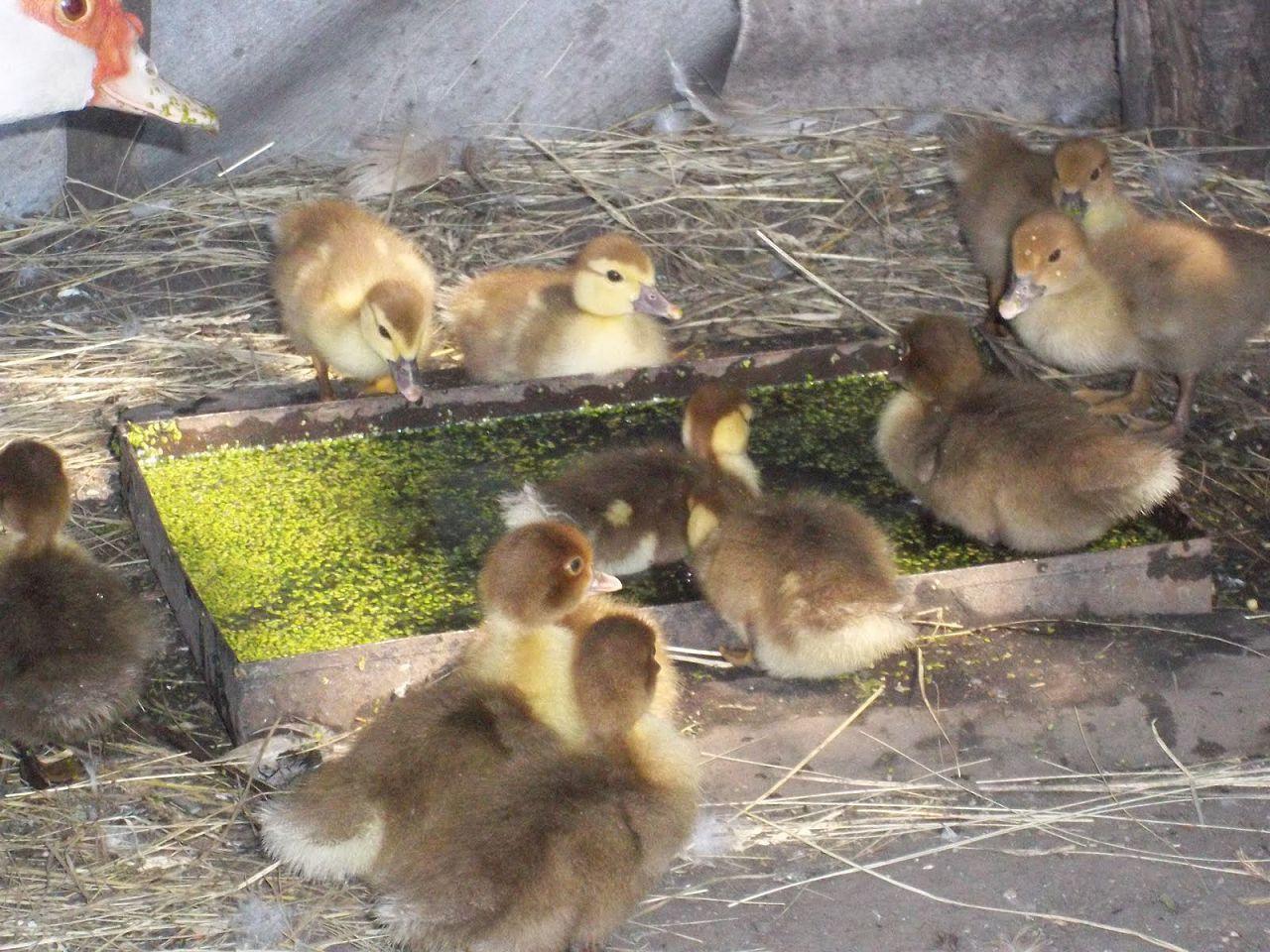 Двухнедельные гусята