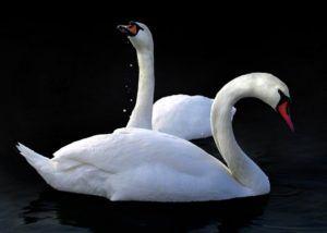 Держать лебедя одного на пруду нельзя, страдая от одиночества, он может заболеть