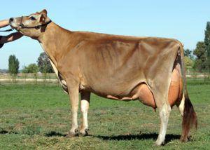 Джерсейская порода коров гарантирует в среднем до 8% жирности