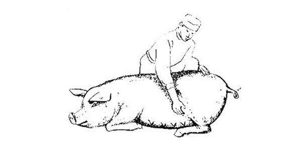 Диагностика беременности свиньи