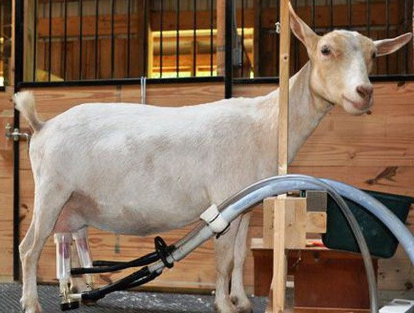 Доение козы с помощью аппарата