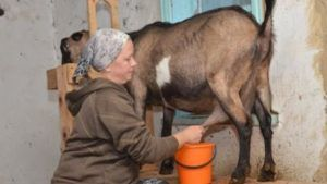 Запуск козы перед родами