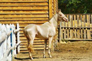 Жеребенок изабелловой масти возле конюшни