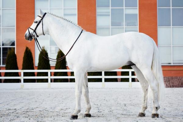 Жеребец ольденбургской породы белой масти