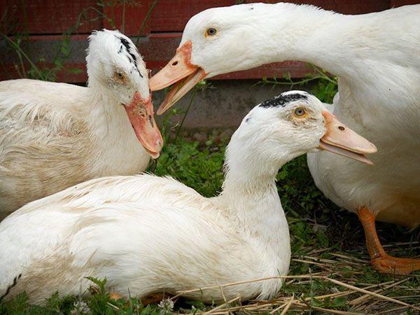 Как размножаются птицы?