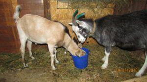 Запуск козы перед окотом